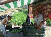 La Jornada de la Habichuela de Alpujarra de la Sierra 2012